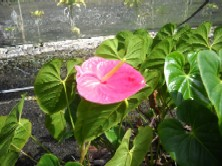 Marian Seefurth Anthurium