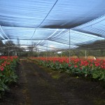 Anthurium Field