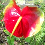 Kalapana Anthurium Flower