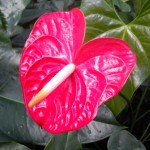 Kozohara Anthurium Flower