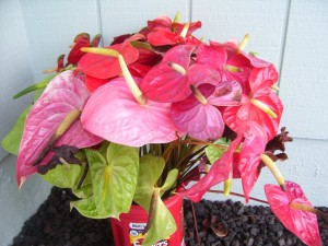 Old Anthurium Flowers
