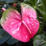 Watermelon Obake Anthurium