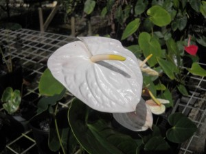 White Anthurium Flower