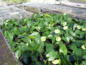 Young Green Anthurium Plants