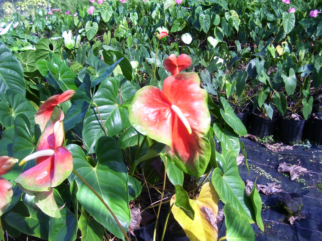 Hawaii flowers anthurium heliconia hibiscus and orchid izmirmasajfo