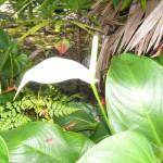 White Amnicola Anthurium