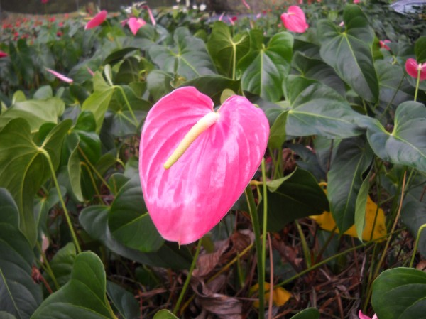 Pink Anthurium Flowers And Plants