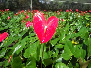 Red Anthurium Plants
