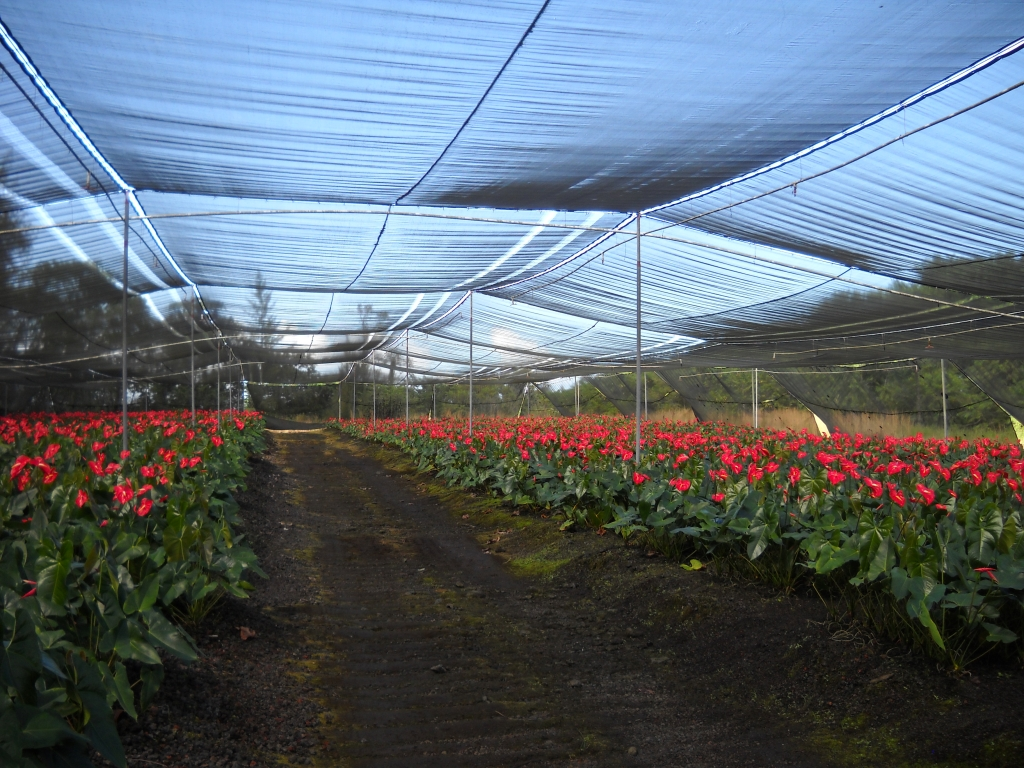 Anthurium farming how anthurium growers raise anthurium flowers anthurium farm izmirmasajfo