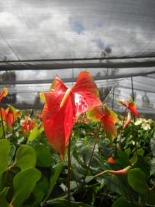 Obake Anthurium Flowers