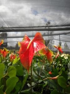 Orange Obake Anthurium