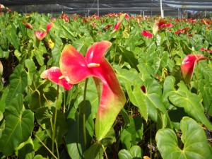 Obake Anthurium: Red and Green