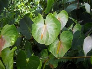 Mauna Loa Anthurium