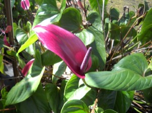 Purple Tulip Anthurium Flower