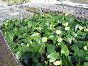 Green Anthurium Plants